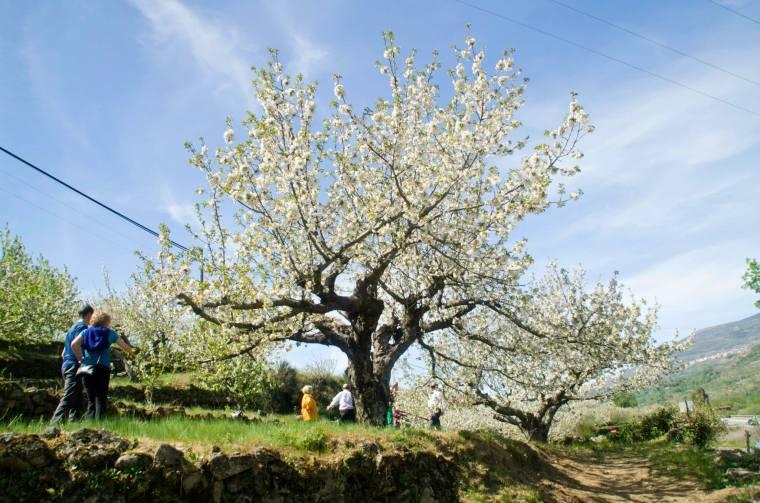 Turistas entre los cerezos en flor en el valle del Jerte, Extremadura