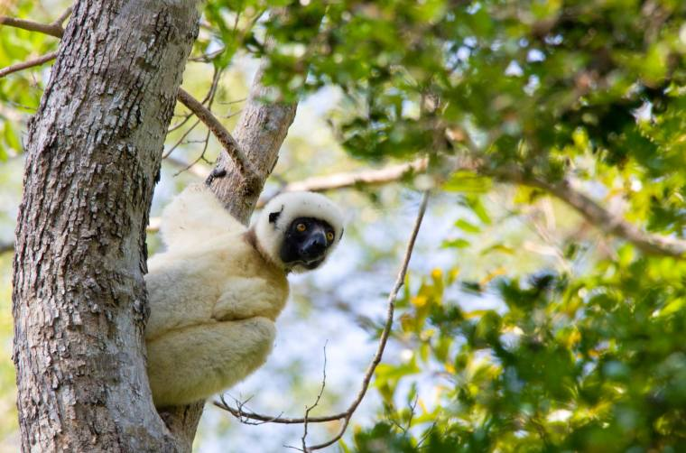 Primeros lemures a la vista en el Parque Nacional Tsingy