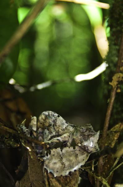 Gecko de cola de hoja, camuflado en la vegetación de Ranomafana