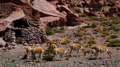 La vicuña, de la familia de los camélidos, vive en el altiplano andino, a gran altura. Su pelaje es muy denso, formado por finas fibras que crecen muy juntas y le protegen del frío
