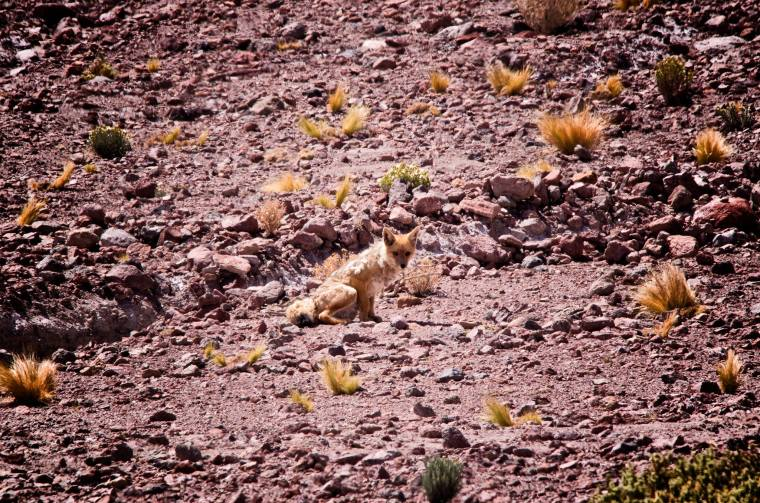 Un zorro acostumbrado a los humanos en las inmediaciones de la Laguna Celeste