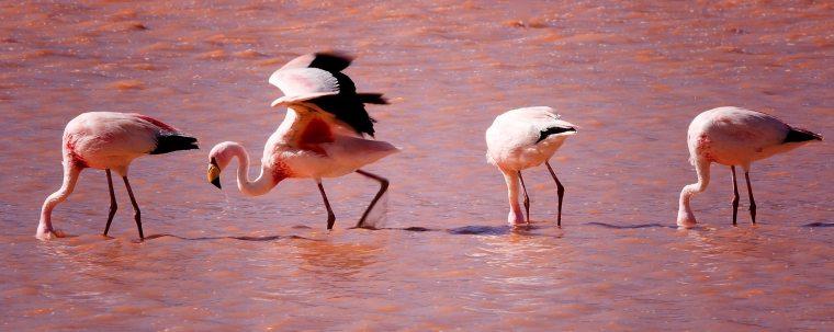 Los flamencos campan a sus anchas en la Laguna Colorada, casi mimetizados con sus aguas rosáceas
