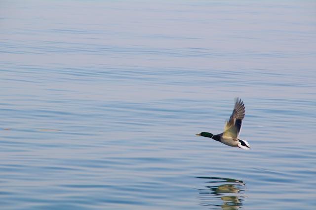 Las aguas del lago de Garda son hábitat natural para los patos