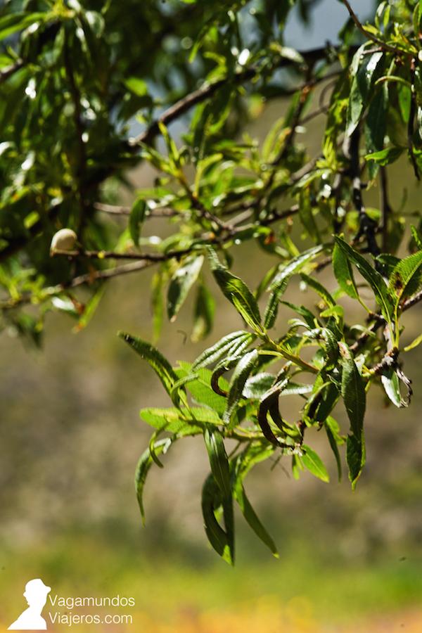 Detalle de una rama de olivo con sus aceitunas